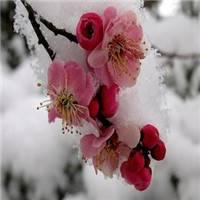 雪和梅花的微信头像